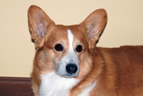 Pembroke Welsh Corgi Breeders – Ask a Dog Breeder: Dog