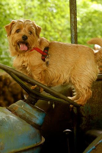 Norfolk Terrier breeders