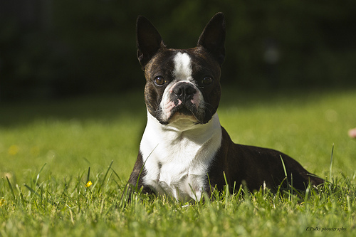 boston terrier breeders