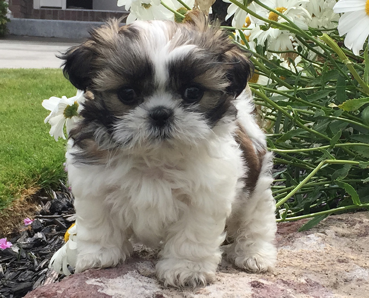 Shih Tzu Breeders Ask A Dog Breeder Dog Breeding Information