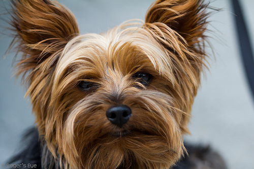 Yorkshire Terrier Breeders