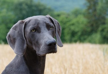 tips for choosing a stud dog