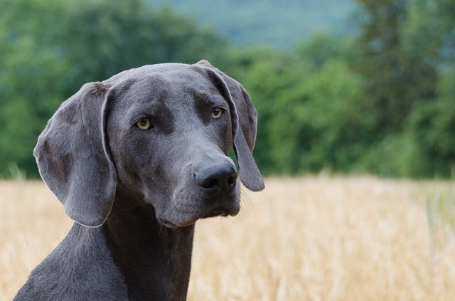bath radstock seller stud contact the labrador dog in somerset bristol yellow classifieds
