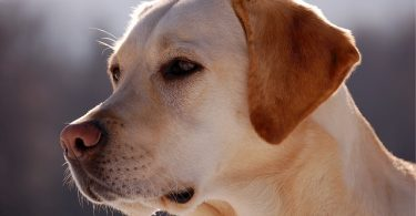 Labrador Retriever Breeders