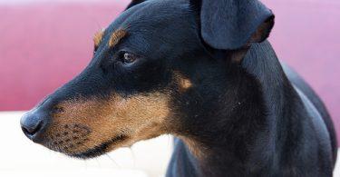 manchester terrier breeders