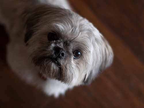 Shih Tzu Heat Cycle And Heat Signs Ask A Dog Breeder Dog Breeding